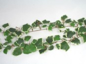 French Ivy Garland 1.8m (6ft)
